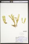 Huperzia porophila