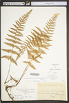Dennstaedtia punctilobula by WVA (West Virginia University Herbarium)
