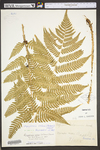 Dryopteris celsa by WVA (West Virginia University Herbarium)