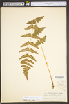Dryopteris cristata by WVA (West Virginia University Herbarium)