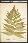 Dryopteris goldiana by WVA (West Virginia University Herbarium)