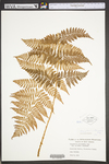 Dryopteris intermedia by WVA (West Virginia University Herbarium)