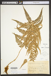 Dryopteris marginalis by WVA (West Virginia University Herbarium)